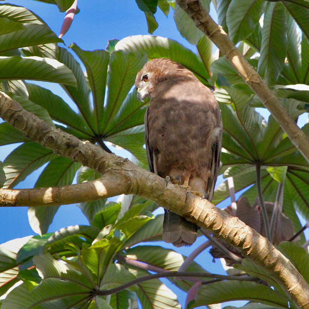Bird watchers who stay in Volcano may see the 'io, the only hawk species native to Hawai'i.