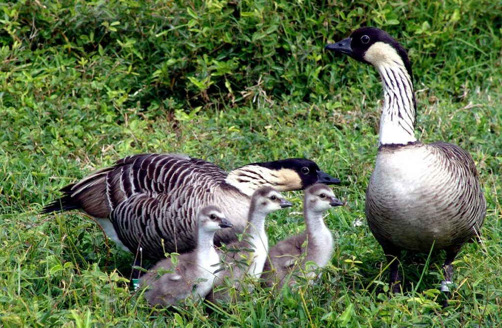 Hawaii's official state bird, the nēnē, is the rarest goose in the entire world.